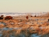 red cows bale grazing_compress