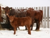 red angus pair