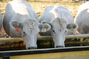 CHAROLAIS DRINKING FROM WATER SYSTEM