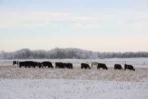 HEIFERS CORN GRAZING